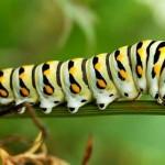 Web Caterpillar