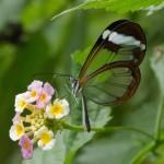 Web Glass Wing Butterfly