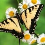Web Swallowtail